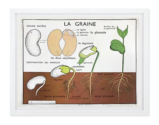 Vintage Botany Chart - La Graine