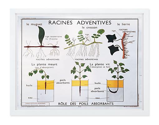 Vintage Botany Chart - Racines Adventives
