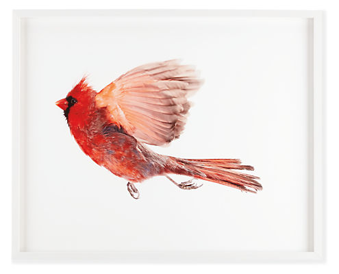 Front view of Paul Nelson, Northern Cardinal Male I, 2009